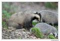 Blaireau - Meles meles - Eurasian Badger (11)