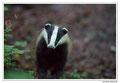 Blaireau - Meles meles - Eurasian Badger (13)