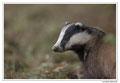 Blaireau - Meles meles - Eurasian Badger (15)