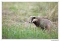 Blaireau - Meles meles - Eurasian Badger (17)