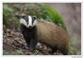 Blaireau - Meles meles - Eurasian Badger (7)