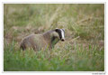 Blaireau - Meles meles - Eurasian Badger (18)