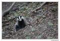 Blaireau - Meles meles - Eurasian Badger (16)