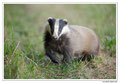 Blaireau - Meles meles - Eurasian Badger (19)
