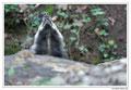 Blaireau - Meles meles - Eurasian Badger (5)