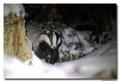 Blaireau - Meles meles - Eurasian Badger (3)