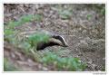 Blaireau - Meles meles - Eurasian Badger (12)