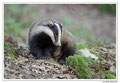 Blaireau - Meles meles - Eurasian Badger (9)