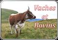 Vaches et Bovins