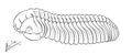 Pliomera fischeri