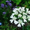 5月はオルラヤがお庭中に咲いてくれます
