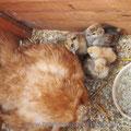 Froscherl's Nest: Sie hat 6 Küken bisher und noch 3 Eier