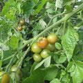 Nächstes Jahr brauchen wir frühere Tomaten ... !!