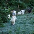 Die Hühner gehen über die weiss gefrorene Wiese