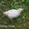 Grünleger Henne, 5 Wochen alt