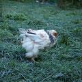 manche Hühner stecken noch voll in der Mauser ...