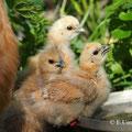 Gruppe Seidenhühner