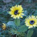 Eisige Sonnenblumen ...