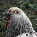 Der Hahn Soren mit einem Wald von Stifteln am Kopf ...