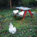 dafür drücken die jungen Zwergseidenhühner gerade eben erst die Schulbank :)