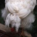 Schwanz Henne im Detail