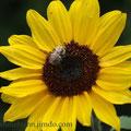 ... eine der letzten Sonnenblumen, beglückt von einer Biene