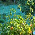 Die letzten Tomaten in der Sonne, dahinter der Rauhreif auf der Wiese.