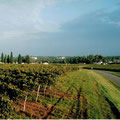 Vineyard of Domaine Pautier - Pineau des Charentes - Grape juice - wines - vines - Charentes