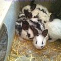 Conejitos de 1 mes - Laperaux d'un mois
