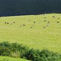 Geese all over der fields