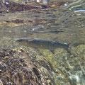 Whitefish sunbathing between rocks