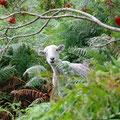 ... and curios sheep
