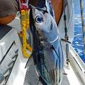 First fish (bonito)