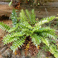Oddly fern