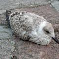 Tired sea gull