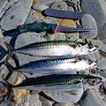 Finally caught some makrels
