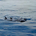 Visiting pilot whales