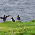 Puffins around every corner