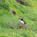 Puffins every where