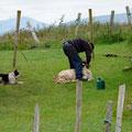Sheep-shaving