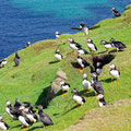 Curious puffins