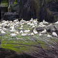 And more Gannets