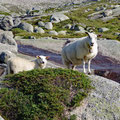 Norwegien sheep ;-)