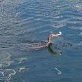 Hungry cormorant, feeding 10 fish a minute