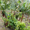 Banana trees and grapes