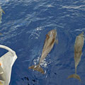 Big atlantic spotted dolphins