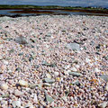 Thousands of small shells