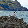 A tern (Seeschwalbe)