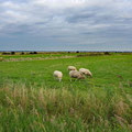 And at the end; Danish sheep