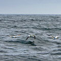 Gannets crossing our path